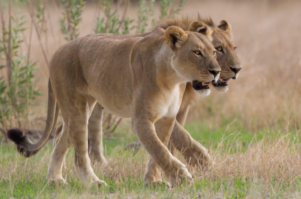 Curiosity on the lion: white lions, tree lions and more