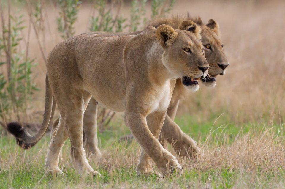 Curiosità sul leone: leoni bianchi, leoni sugli alberi e altro