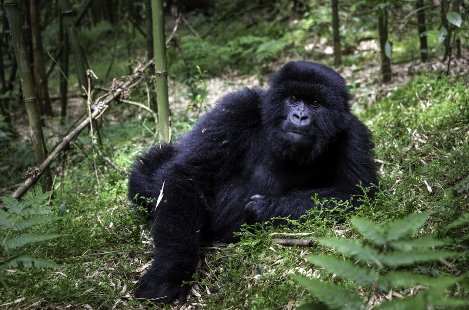 The gorillas of Africa