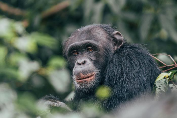 Chimpanzee Experience in Rubondo Island
