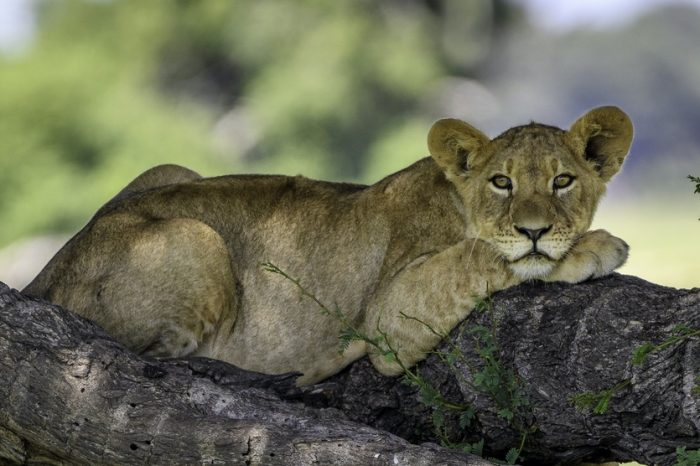 Safari in Zimbabwe con stile